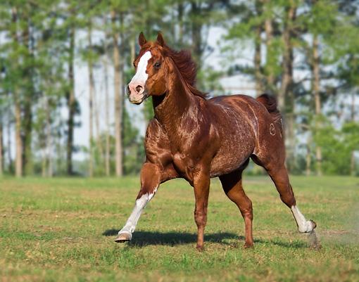 Brown Quarter Horse Stallion