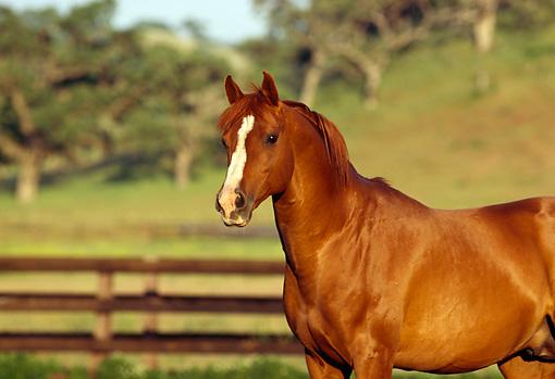 Chestnut arabian horses - photo#21