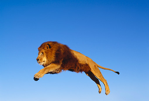 Male Lion Jumping Lns 01 rk0270 18 - african male lion leaping in air ...