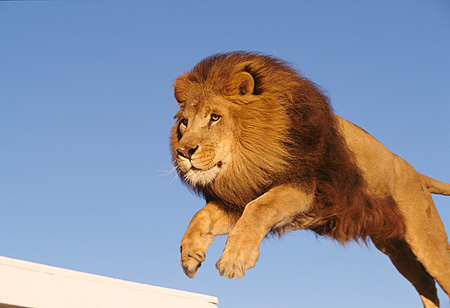 Male Lion Jumping Lns 01 rk0270 15 - african male lion leaping in air ...