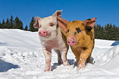 PIG 02 KH0020 01