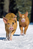 PIG 02 KH0021 01