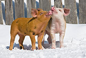 PIG 02 KH0022 01