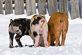 PIG 02 KH0026 01