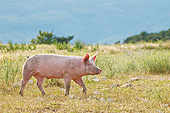 PIG 02 KH0035 01