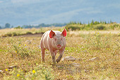 PIG 02 KH0036 01