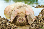 PIG 02 KH0037 01