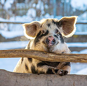PIG 02 KH0038 01