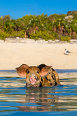 PIG 02 KH0044 01