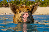PIG 02 KH0053 01
