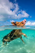 PIG 02 KH0060 01