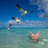 PIG 02 KH0069 01