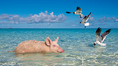 PIG 02 KH0073 01
