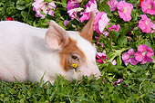 PIG 02 LS0064 01