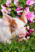PIG 02 LS0065 01