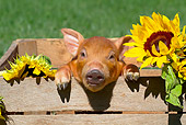 PIG 02 LS0066 01