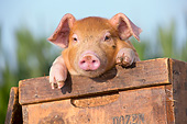 PIG 02 LS0068 01
