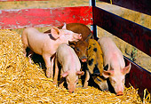 PIG 02 RK0035 04