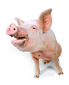 PIG 02 RK0054 16