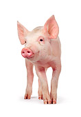 PIG 02 RK0058 32