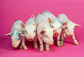 PIG 02 RK0099 06