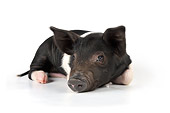 PIG 02 JD0011 01