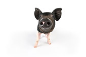 PIG 02 JD0014 01