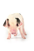 PIG 02 JD0016 01