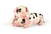 PIG 02 JD0018 01
