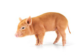 PIG 02 JD0022 01