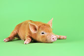 PIG 02 JD0025 01