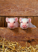 PIG 02 KH0002 01