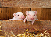 PIG 02 KH0004 01