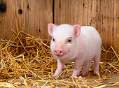 PIG 02 KH0005 01