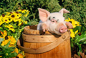 PIG 02 LS0007 01