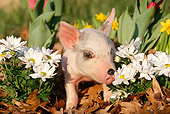 PIG 02 LS0008 01