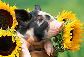 PIG 02 LS0016 01