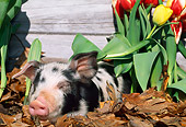PIG 02 LS0045 01