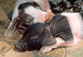 PIG 02 LS0046 01