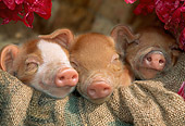 PIG 02 LS0047 01