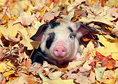 PIG 02 LS0055 01