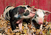 PIG 02 LS0063 01