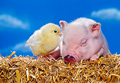 PIG 02 RK0139 03