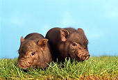 PIG 02 TK0001 01
