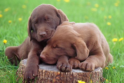 Puppies Cuddling Retriever puppies cuddling
