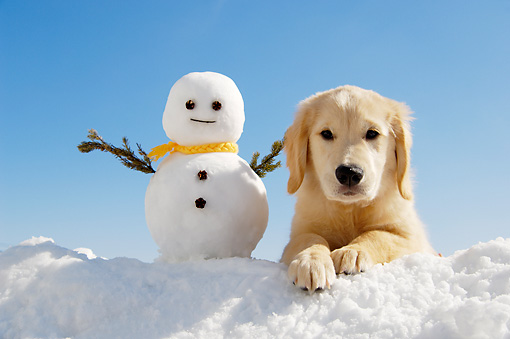 Golden Retriever Puppies In Snow Images & Pictures - Becuo