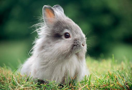 Gray Lionhead Rabbits Rab 01 Gr0343 Rabbit Sitting