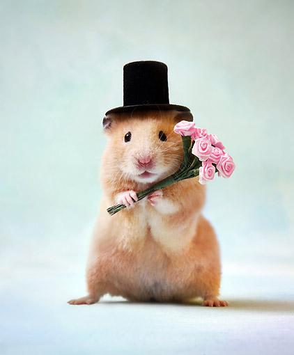 Hamster Animal Stock Photos Kimballstock