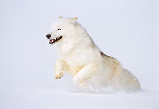 Arctic wolf in snow - photo#16