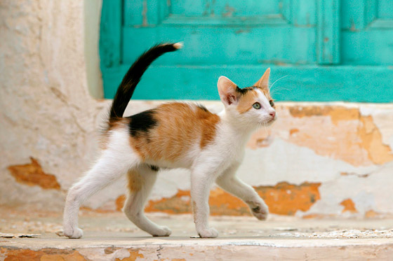 Calico Kitten Stock Images